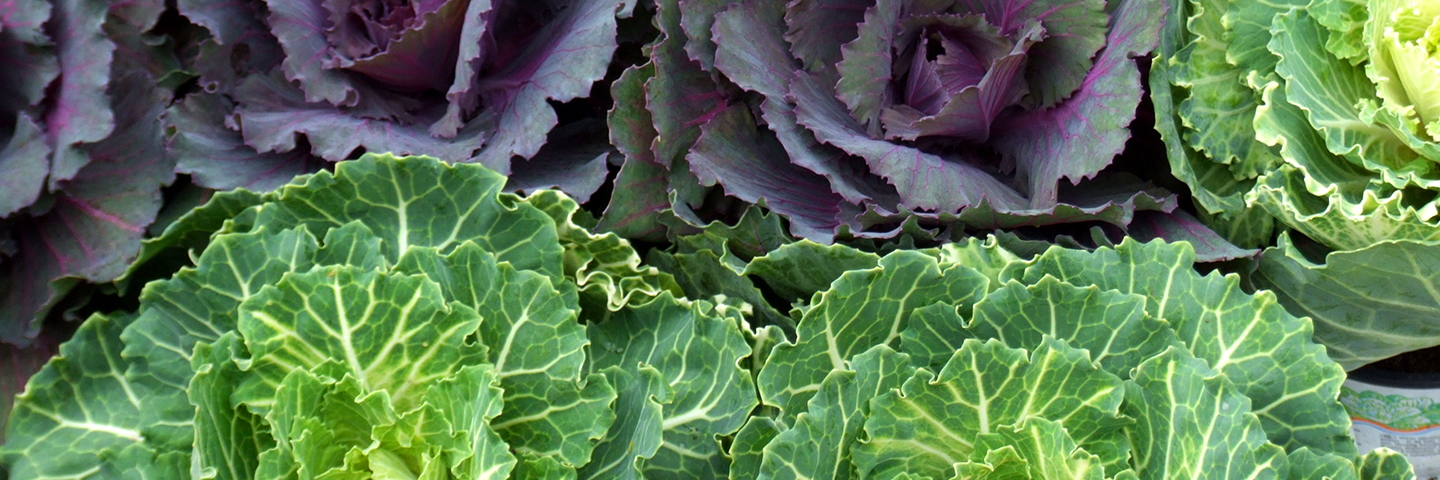 UK Brassica & Leafy Salad Conference