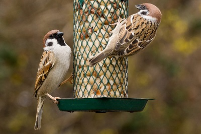 Feed the birds? Scientists highlight risks of disease at garden bird feeders