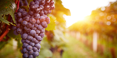 The UK's Love of Wine Becomes Homegrown – Fera Makes it More Sustainable