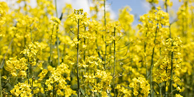 Risks to winter oilseed rape