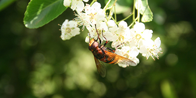 Asian Hornet sightings