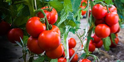 Join us at the British Tomato Conference 2019