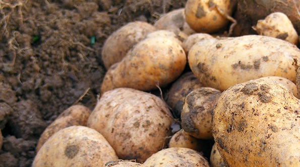 Standard Growing On Test for Virus in Potatoes