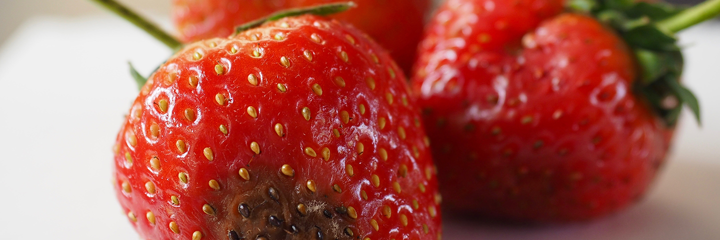 Strawberry black spot <em>(Collectotrichum acutatum)</em> in plants (Non-symptomatic)