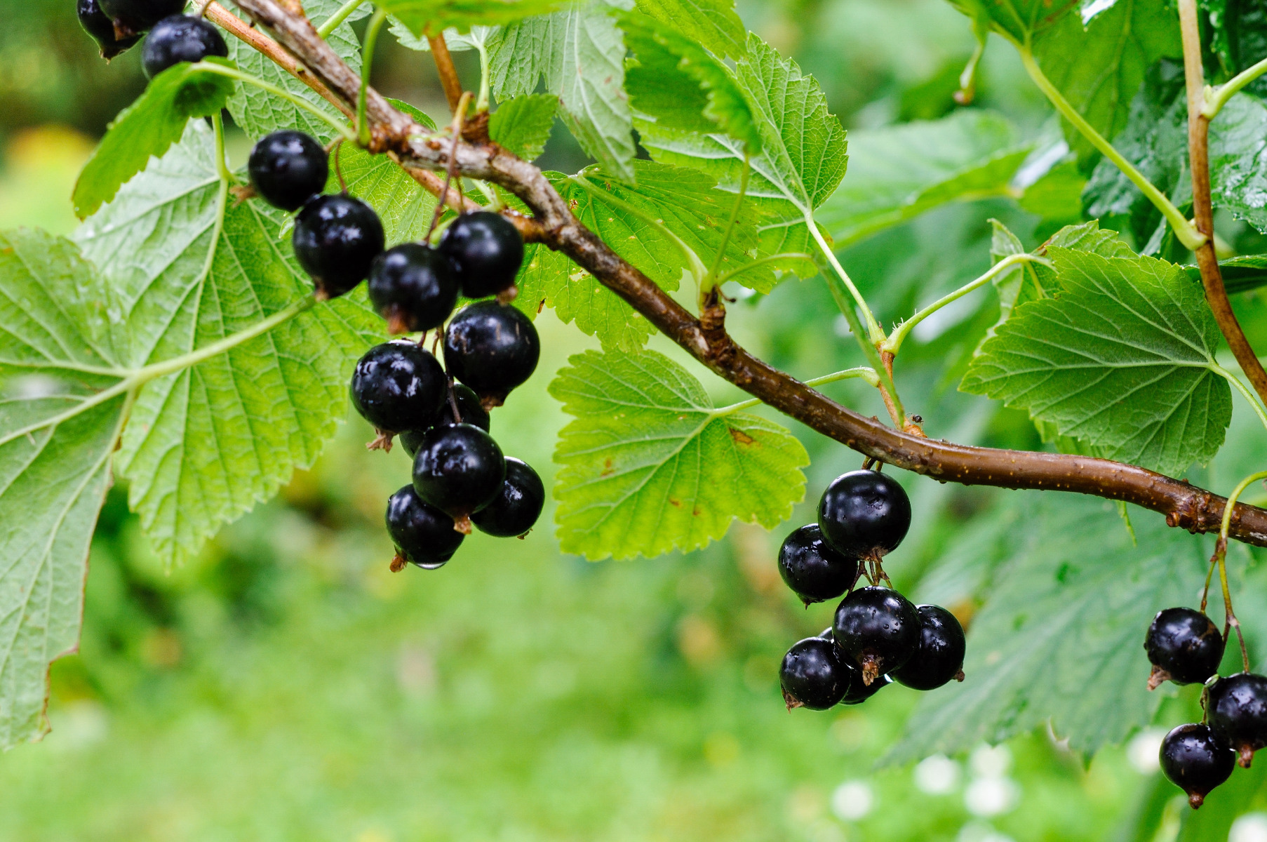 Blackcurrant reversion virus