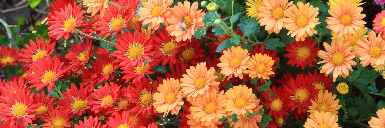 Chrysanthemum stunt viroid (CSVd)