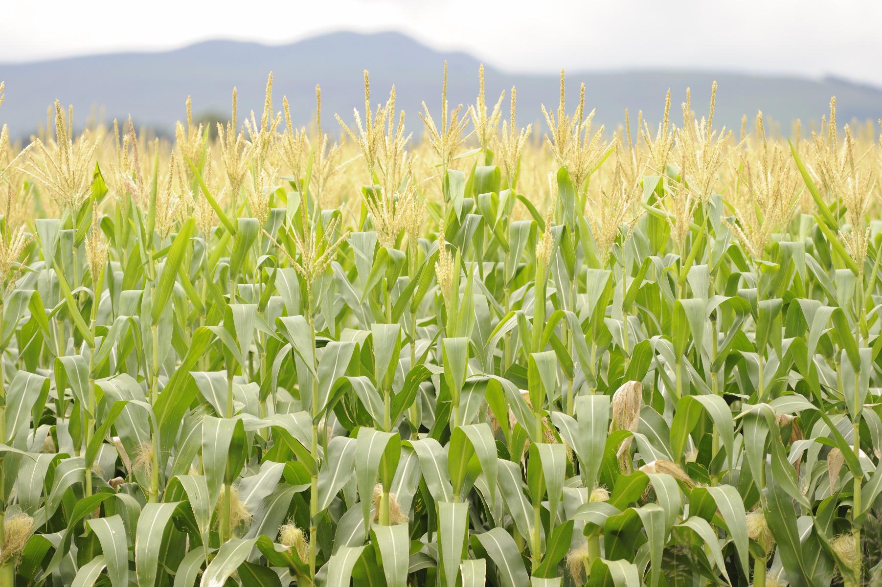 <em>Pantoea stewartii</em> subsp. <em>stewartii</em> - maize seeds