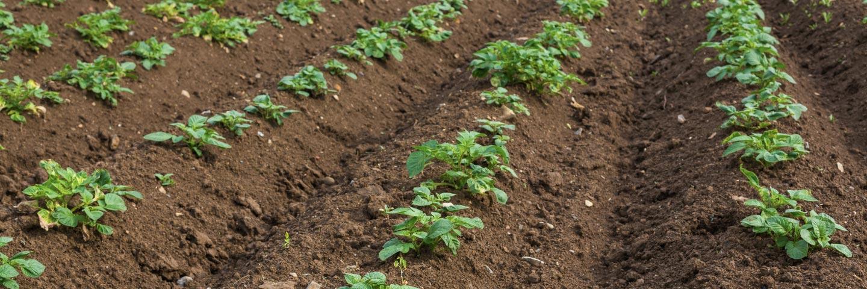 Spraing test for Soil - <em>tobacco rattle virus</em>