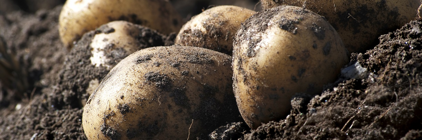 Image for Spraing test for symptomatic tubers (tobacco rattle virus & potato mop top virus)