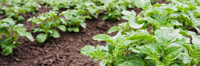Rapid direct tuber test for virus in Potato (PVY + 2 Viruses)