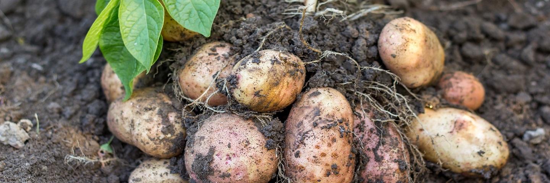 Rapid direct tuber test for virus in Potato (PVY + 1 Virus)