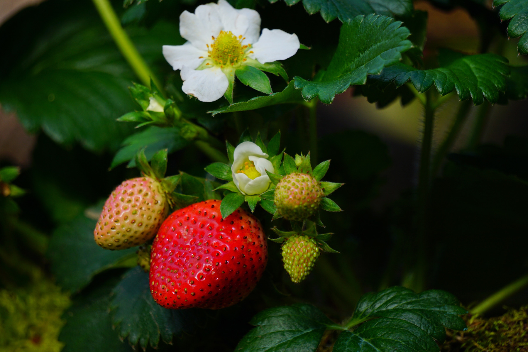 Strawberries Virus Screening