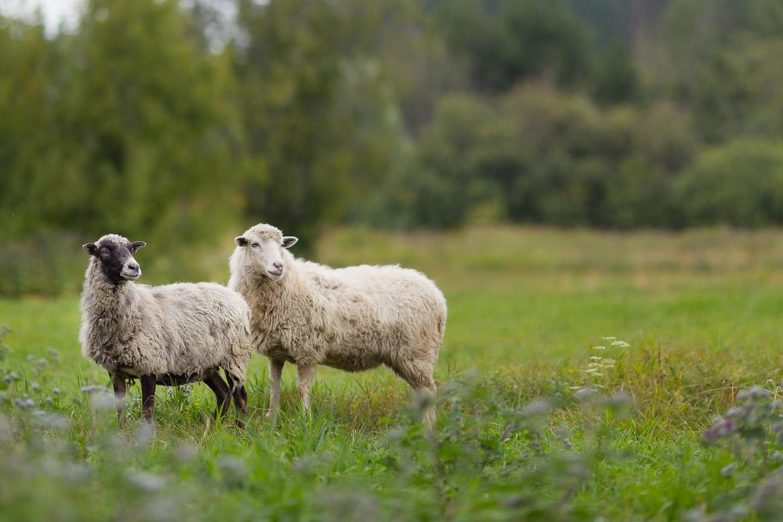 Livestock Metabolism and Residue Studies