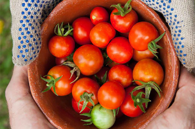 Tomato virus diagnosis screening