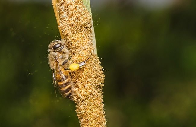 Bee on Corn Extreme Close Up