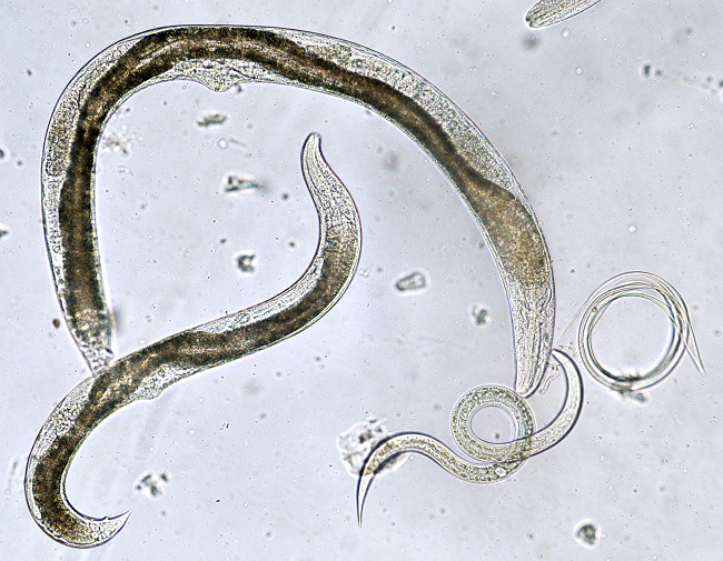 Nematodes Close Up