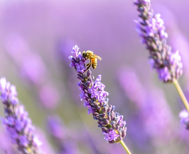Bee on Lavander Close Up