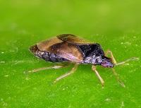 predatory bug