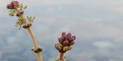 water sediment myriophyllum spicatum toxicity