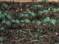 Pythium Diseases of Ornamental Plants