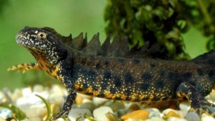 Great Crested Newt Image