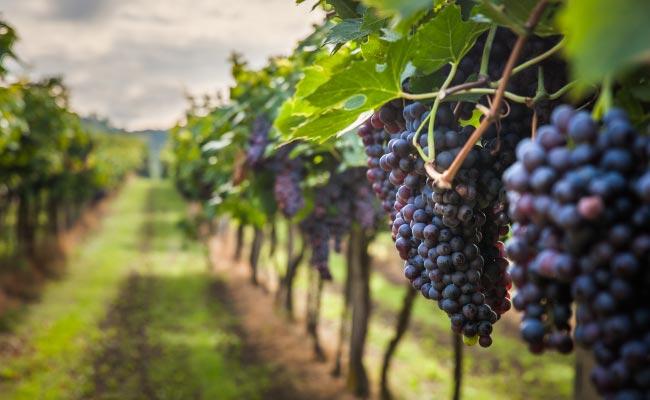 Wine Grapes Close Up