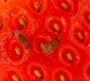 Drosophila suzukii on strawberry